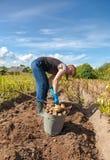 Young woman harvesting potato Royalty Free Stock Photos