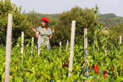 Young woman harvesting red peppers Stock Image