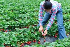 Strawberry picking Royalty Free Stock Image