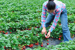 Strawberry picking woman Stock Photo