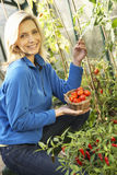 Young woman harvesting tomatoes Royalty Free Stock Image