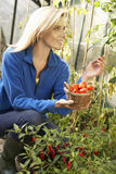 Young woman harvesting tomatoes Royalty Free Stock Photography