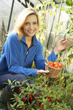Young woman harvesting tomatoes. Smiling Stock Photo