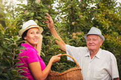 Young woman help an old man in the orchard, to pick apples Royalty Free Stock Images