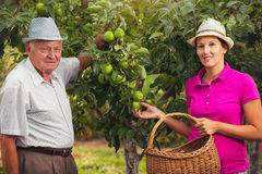 Young woman help an old man in the orchard, to pick apples Royalty Free Stock Image