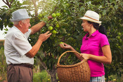 Young woman help an old man in the orchard, to pick apples Stock Image