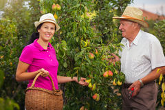Young woman help an older man in the orchard, to pick pears Royalty Free Stock Photos