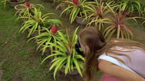 Young woman and her son that are visiting a tropical garden with exotic fruit trees and plants. Steadicam shot of a. Group of pineapple plants with pineapple stock video footage