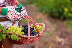 Young woman holding basket of grape in vineyard Stock Image