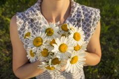 A young woman is holding a bouquet of chamomile in her hands. Many white medical flowers in summer in sunny weather. royalty free stock photos