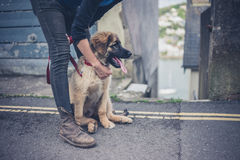 Young woman holding Leonberger puppy Royalty Free Stock Photo