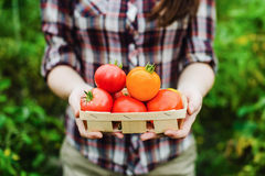 Young woman holding tomato harvest in hands Royalty Free Stock Images