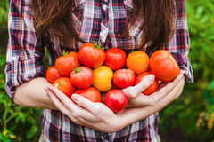 Young woman holding tomato harvest in hands Stock Images