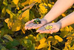 Tractor and soybean in farmer`s hands. Young woman holding tractor toy and grains in hands above soybean plants in harvest time. Agribusiness concept Royalty Free Stock Photos