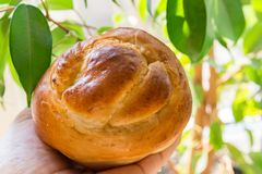 Young woman holds in hand freshly baked yeast brioche bun green house plants background. Easter holiday baking. Morning breakfast. Coffee pastry concept royalty free stock photos