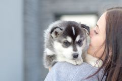 Young women holds her best friend little pet puppy of husky in her arms. love for dogs royalty free stock photos