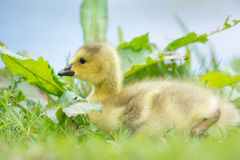 Young baby Canada goose Royalty Free Stock Photography