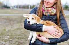 Young woman with long hair holding small corgi dog outdoors royalty free stock images