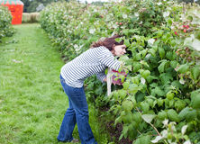 Young woman on organic raspberry farm in summer Stock Photo
