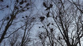 Young woman ornithologist taking photo of rooks nesting high up in trees, singing and flying, by her phone - Rook nest -. Young woman ornithologist taking photo stock video footage