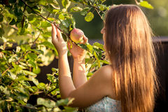 Young woman picking apple from tree branch Stock Image