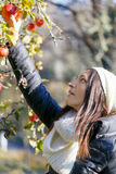 Young woman picking apples from an apple tree on a sunny winter Royalty Free Stock Photo