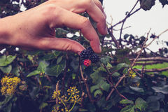 Young woman picking blackberries Royalty Free Stock Image