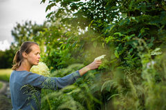 Young woman picking elderflower Stock Photography