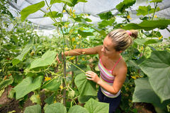 Young woman picking fresh cucumbers Royalty Free Stock Images