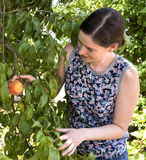 Young Woman Picking Fresh Peach from Tree. Stock Image