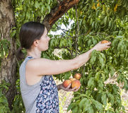 Young Woman Picking Fresh Peaches. Stock Images