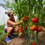 Young woman picking fresh tomatoes Royalty Free Stock Images