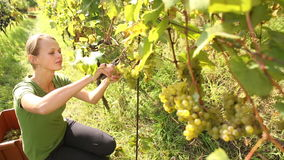 Young woman picking grapes stock footage
