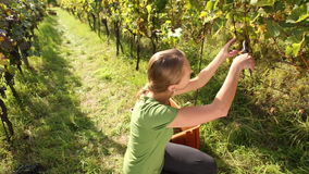 Young woman picking grapes stock video footage