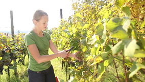 Young woman picking grapes stock video