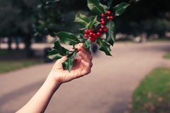 Young woman picking holly Royalty Free Stock Photo