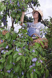 Young woman picking plums Royalty Free Stock Image