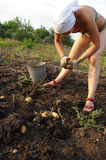 Young woman picking a potato. The young woman picking a potato royalty free stock photos
