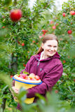 Young woman picking red apples on farm Royalty Free Stock Photography
