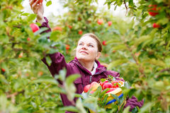 Young woman picking red apples in an orchard Stock Photos
