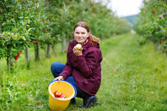 Young woman picking red apples in an orchard Royalty Free Stock Photo