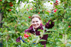 Young woman picking red apples in an orchard Stock Photography