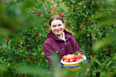 Young woman picking red apples in an orchard Stock Photo