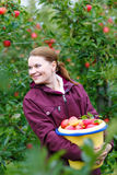 Young woman picking red apples in an orchard Royalty Free Stock Photography