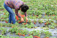 Young woman picking red strawberry Stock Photo