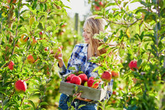 Young woman picking ripe organic apples in orchard or on farm on a fall day Stock Photography