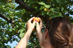 Woman picking ripe organic apricot Royalty Free Stock Images