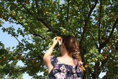 Woman picking ripe organic apricot Royalty Free Stock Photos
