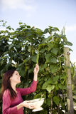 A young woman picking runner beans on an allotment Royalty Free Stock Photography