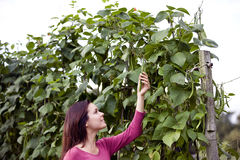 A young woman picking runner beans on an allotment Stock Photography